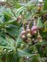 Anacardiaceae - Anacardium occidentale