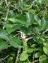 Fabaceae - Canavalia cathartica