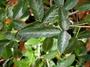 Fabaceae - Desmodium incanum