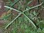 Poaceae - Eleusine indica