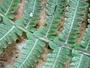 Thelypteridaceae - Cyclosorus dentatus