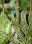 Pteridaceae - Doryopteris angelica