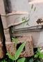 Asteraceae - Emilia sonchifolia var. javanica