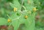 Asteraceae - Sigesbeckia orientalis
