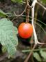 Solanaceae - Solanum lycopersicum var. cerasiforme (Dunal) D.M. Spooner, G.J. Anderson & R.K. Jansen