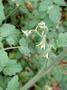 Solanaceae - Solanum lycopersicum var. cerasiforme