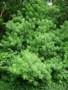 Apocynaceae - Thevetia peruviana