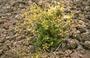 Apiaceae - Sanicula sandwicensis