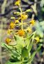 Asteraceae - Dubautia arborea