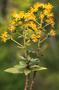 Asteraceae - Dubautia sherffiana