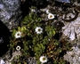 Asteraceae - Tetramolopium rockii var. rockii
