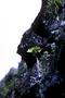 Campanulaceae - Brighamia insignis