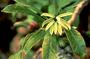 Campanulaceae - Clermontia lindseyana