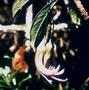 Campanulaceae - Clermontia grandiflora subsp. munroi