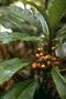 Campanulaceae - Cyanea marksii