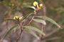 Fabaceae - Acacia koaia