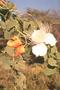 Capparidaceae - Capparis sandwichiana