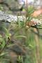 Lamiaceae - Stenogyne angustifolia