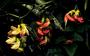 Fabaceae - Vicia menziesii
