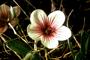 Geraniaceae - Geranium hillebrandii