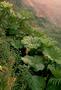 Gunneraceae - Gunnera petaloidea