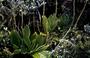 Plantaginaceae - Plantago pachyphylla