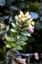 Primulaceae - Lysimachia daphnoides