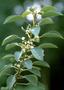 Rhamnaceae - Gouania hillebrandii