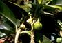 Rutaceae - Platydesma remyi