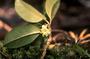 Solanaceae - Nothocestrum longifolium