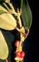 Urticaceae - Neraudia melastomifolia