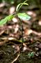 Violaceae - Isodendrion laurifolium