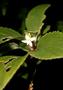 Violaceae - Viola oahuensis
