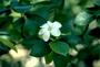 Rubiaceae - Gardenia brighamii