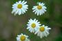 Asteraceae - Anthemis cotula