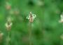 Plantaginaceae - Plantago lanceolata