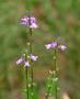 Plantaginaceae - Linaria canadensis var. texana