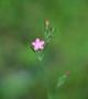 Caryophyllaceae - Dianthus armeria subsp. armeria