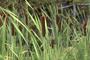 Typhaceae - Typha latifolia