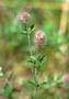 Fabaceae - Trifolium arvense var. arvense