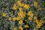 Asteraceae - Encelia farinosa