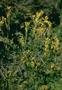 Asteraceae - Tagetes minuta