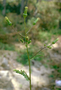 Asteraceae - Senecio vulgaris