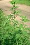 Amaranthaceae - Chenopodium album