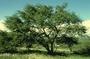Fabaceae - Prosopis pallida