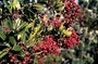Rosaceae - Heteromeles arbutifolia