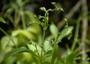 Caryophyllaceae - Schiedea jacobii
