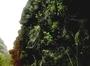 Caryophyllaceae - Schiedea apokremnos