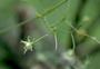 Caryophyllaceae - Schiedea diffusa subsp. diffusa