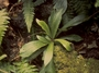 Caryophyllaceae - Schiedea kaalae
